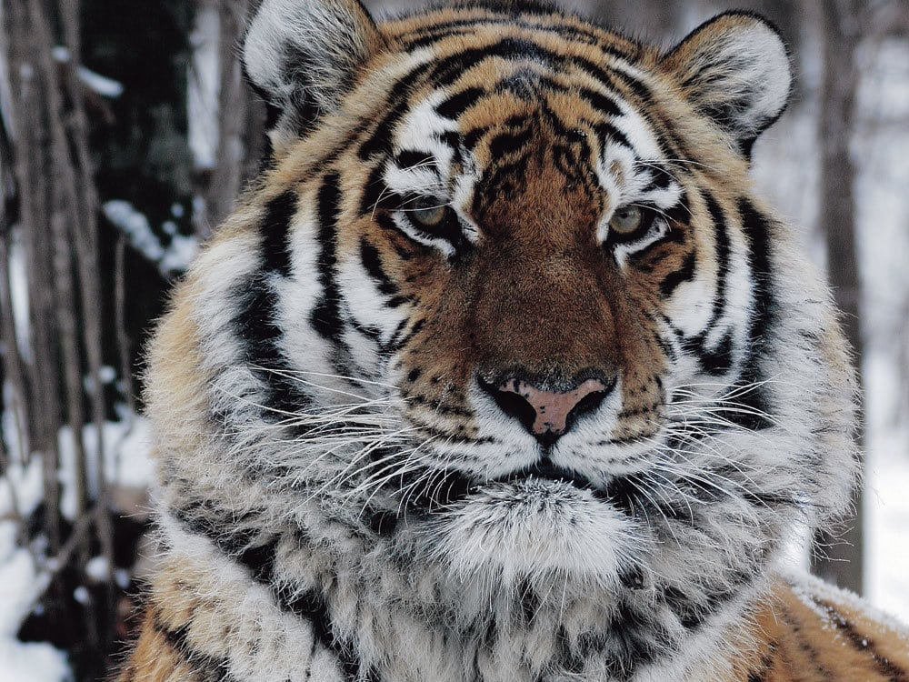 Face of a Siberian Tiger